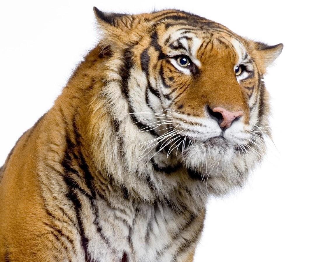Tema Harimau Apl Android Di Google Play