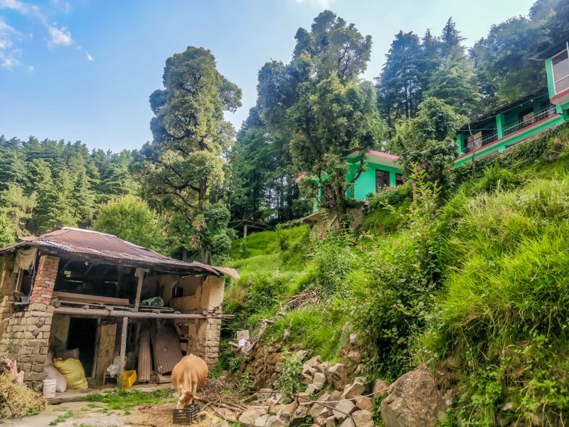 cow+grazing+dharamkot+himachal.jpg