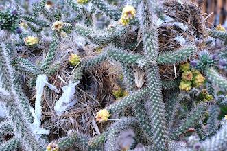 Photo: Bird nests in cholla cactus