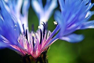 Photo: Cornflower - prints & cards here - http://www.inspiraimage.com/index.php/gallery/flowers/222-cornflower-i