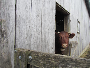Photo: Cow looking out hrough the wooden barn door at Carriage Hill Metropark in Dayton, Ohio.