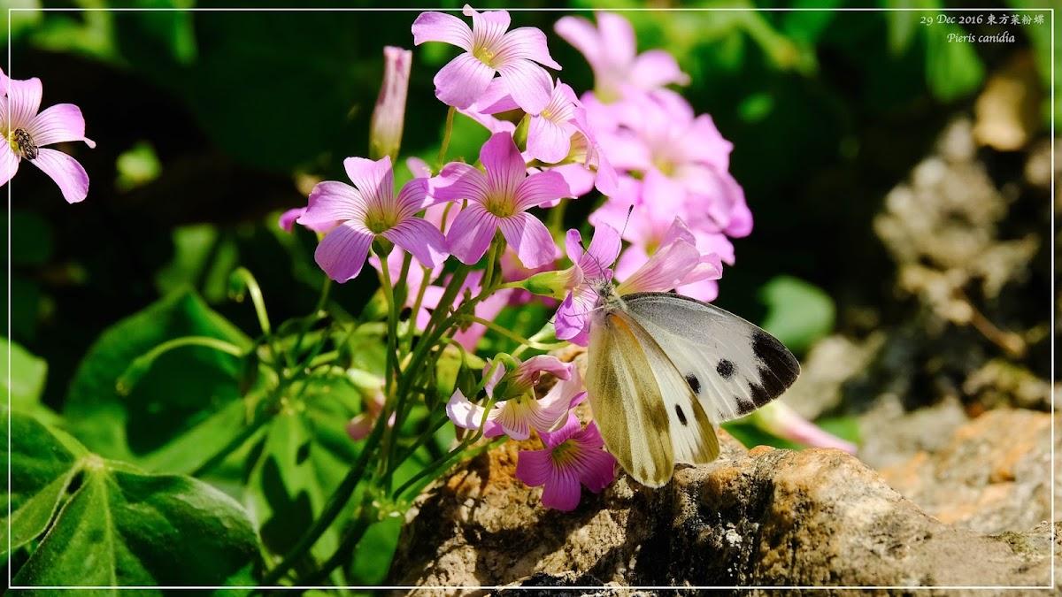Pieris canidia 東方菜粉蝶