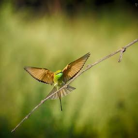 Caught The Bee - Landed On Twig by Kartik Wat - Animals Birds ( bird, green bee eater, wildlife photography, freeze, action, wildlife, burst, agile, fast )