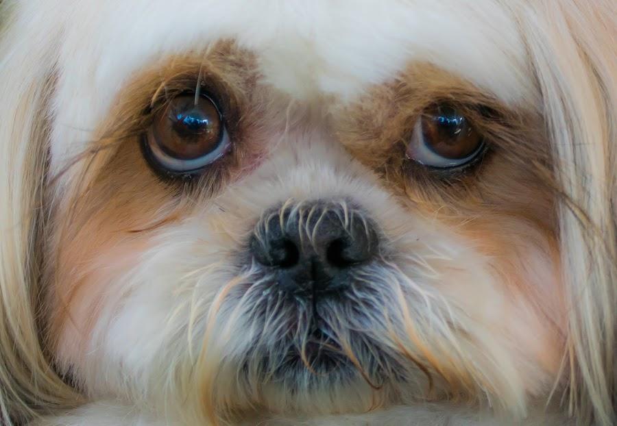 by Albin Bezjak - Animals - Dogs Portraits (  )