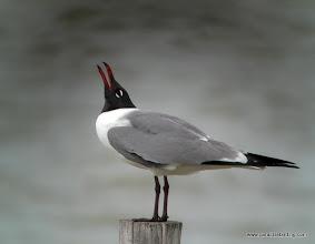 Photo: Laughing Gull, upper Texas Coast