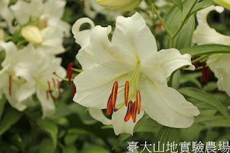 Photo: 拍攝地點: 梅峰-溫帶花卉區 拍攝植物: 百合(卡薩布蘭加) 拍攝日期:2012_08_30_FY