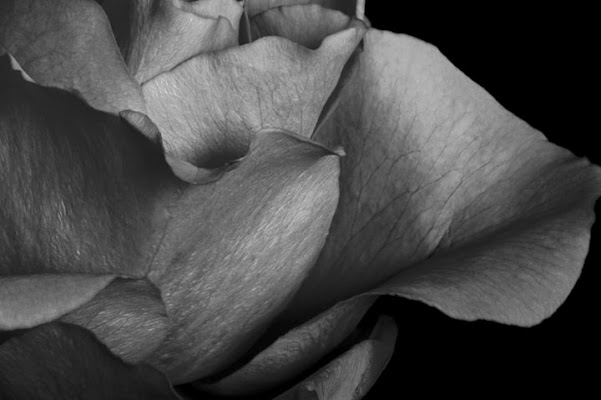 White Rose (1) di Anto
