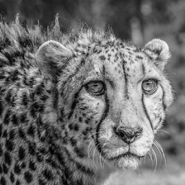 Cheetah by Garry Chisholm - Black & White Animals ( mammal, nature, cheetah, big cat, garry chisholm )