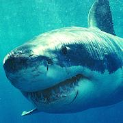 Shark Free Live Wallpaper