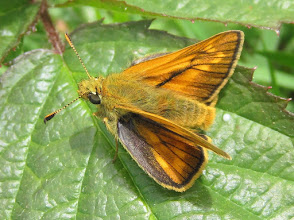 Photo: Large skipper butterfly 15 June 2016 © Pauline Popely 2015