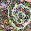 Methuselah's beard lichen