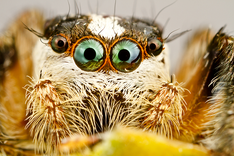 Jumping Spider by ธเนศ ขวยไพบูลย์ - Animals Insects & Spiders