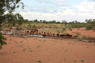 Photo: Year 2 Day 217 - Cattle in Taylor Creek
