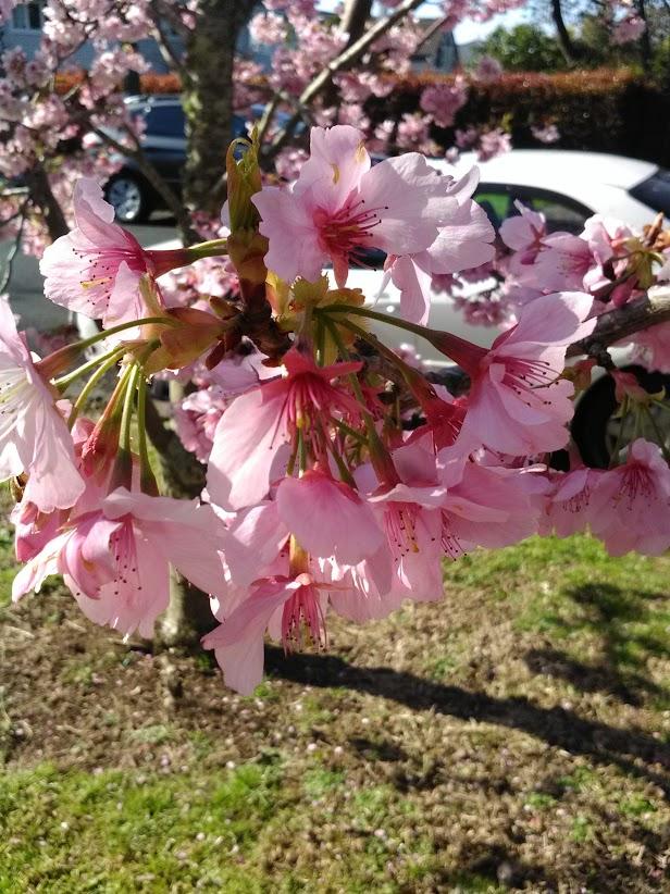 桜。とても綺麗に咲いていました。