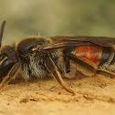 Andrena labiata