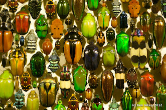 Photo: Beetle mania.  The diversity of their color makes beetles the jewels of the insect kingdom.
