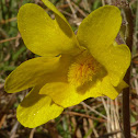Yellow Butterwort