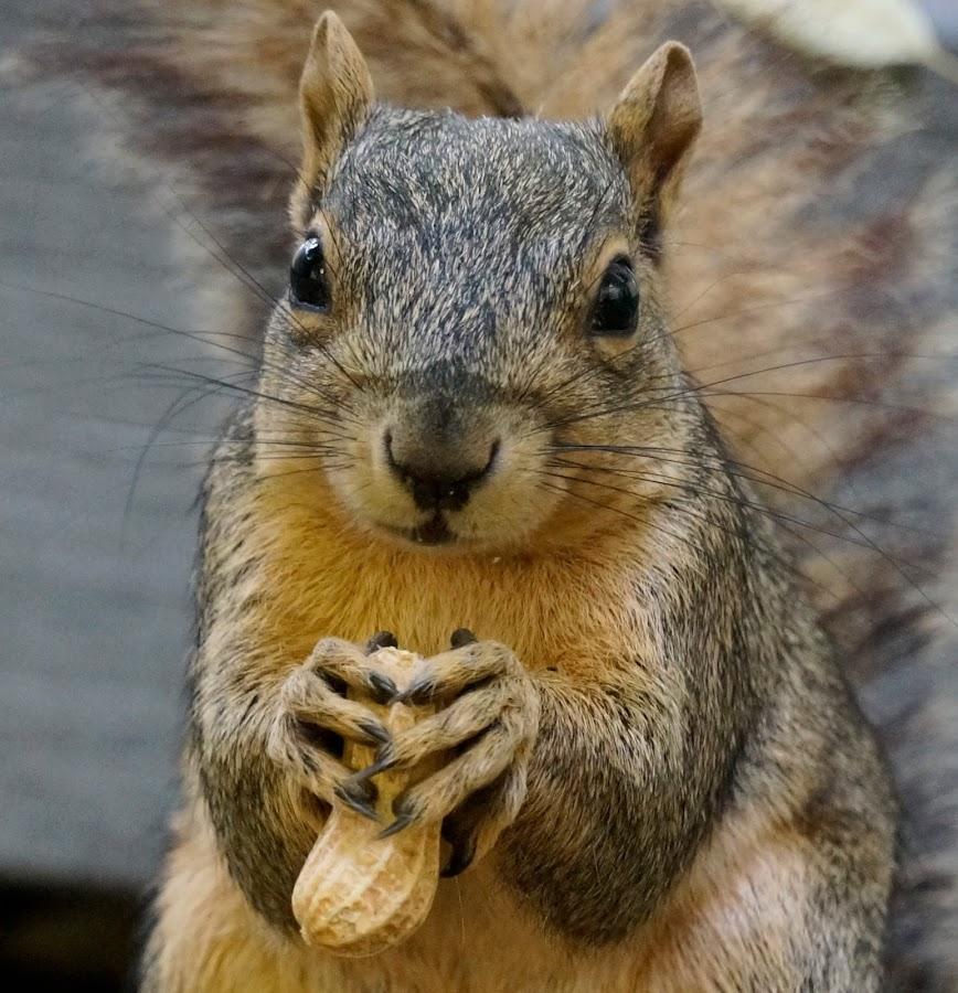 Hungry Squirrel by Barbara Brock - Animals Other Mammals ( squirrel face, squirrel with peanut, wildlife, squirrel eye contact, squirrel,  )
