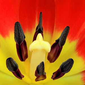 tulip macro.jpg