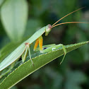 Garden Praying Mantis