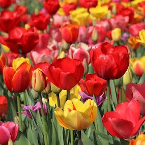 a field of tulips by Carola Mellentin - Flowers Flower Gardens (  )