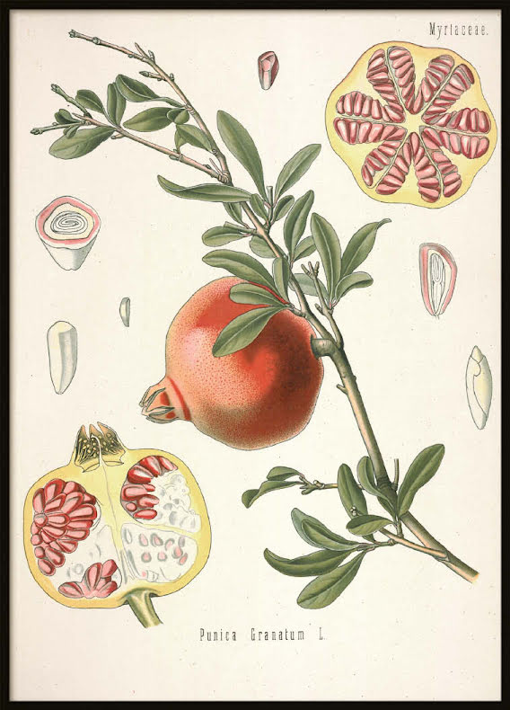 Vintage Pomegranate, Poster