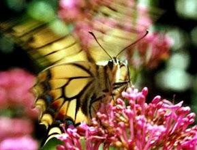 Photo: Frou-frou d'ailes - Papilio machaon - sur sédum spectabile.