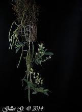 Photo: Angraecum appendiculoides
