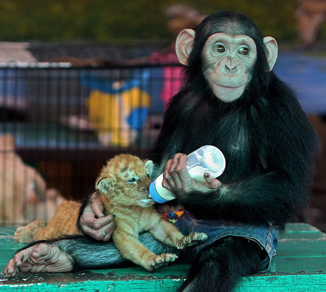 Photo: Шимпанзе кормит из бутылочки 28-дневного тигренка в зоопарке Самут Пракан, на окраине Бангкока в Таиланде. (EPA)