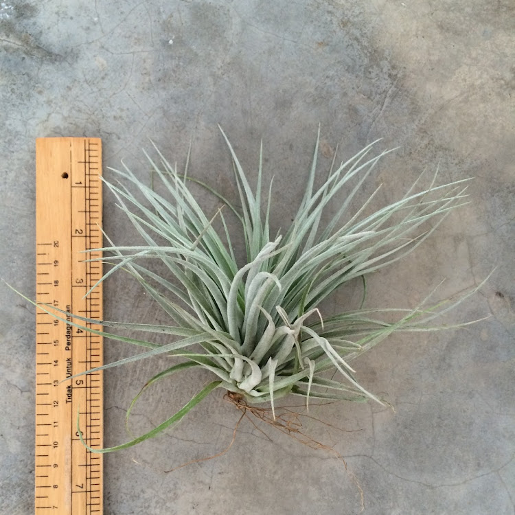 Air Plant - Houston Cotton Candy