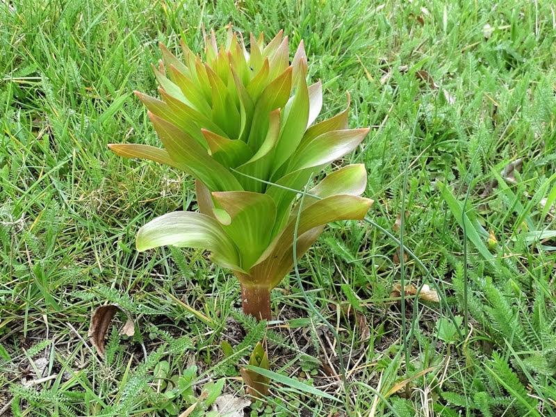 2019-03-24 LüchowSss Garten Kaiserkrone (Fritillaria imperialis) hinten gross, vorne klein