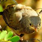 Yellow-billed babbler (Juvenile)