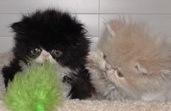 fluffy kitten picture