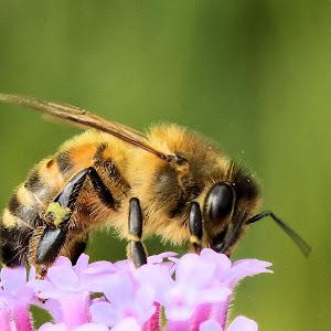 Honey bee on Verbena bonariensis.JPG