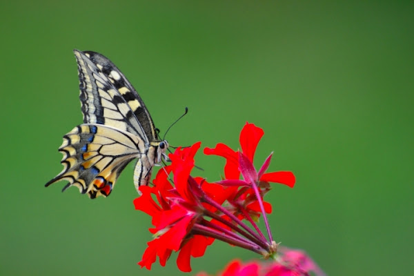 Farfalla! di superrox86