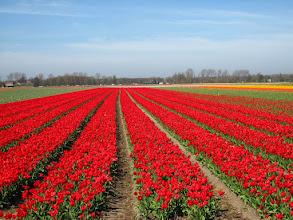 Photo: #005-Les champs de tulipes dans les environs de Lisse.