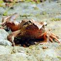 Japanese Brown Frog