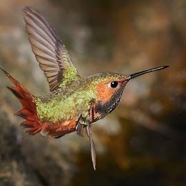HummerFun 528~ 1 by Raphael RaCcoon - Animals Birds