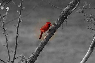 Photo: 5 ... Cardinal ... Elmwood Park