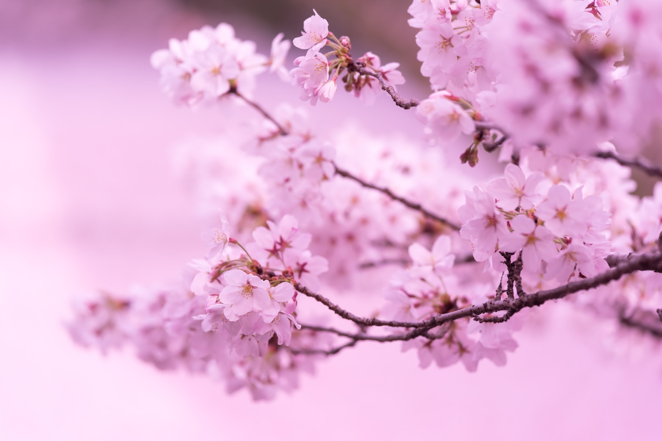 Kyoto Philosopher's Path cherry blossoms carpet3