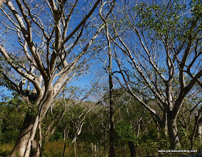 Photo: Big trees on the lower Bioto Road, nest site for the Pale-billed Woodpecker