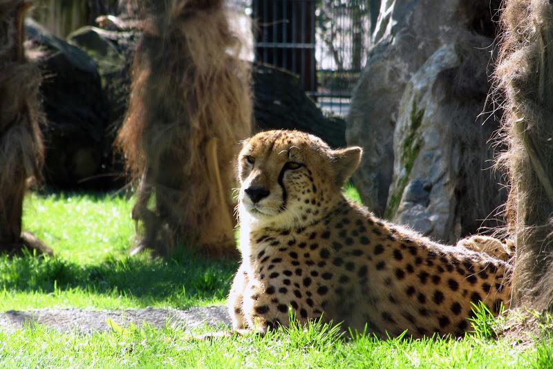 Il leopardo di c