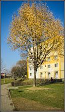 Photo: Arțar, Paltin de munte - (Acer pseudoplatanus) - de pe Calea Victoriei - 2017.03.09