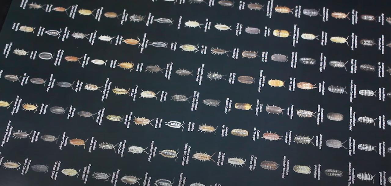 Isopod poster