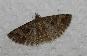 Photo: Alucita hexadactyla   Lepidoptera > Alucitidae