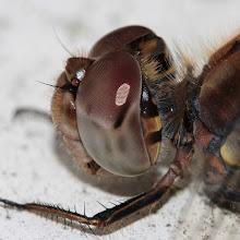 Photo: Common Darter (Sympetrum striolatum) ?