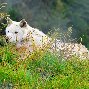 White Wolf by  J B  - Animals Other Mammals ( grey wolf, canada, gray wolf, wolf, animal )