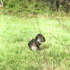 Wild turkey male