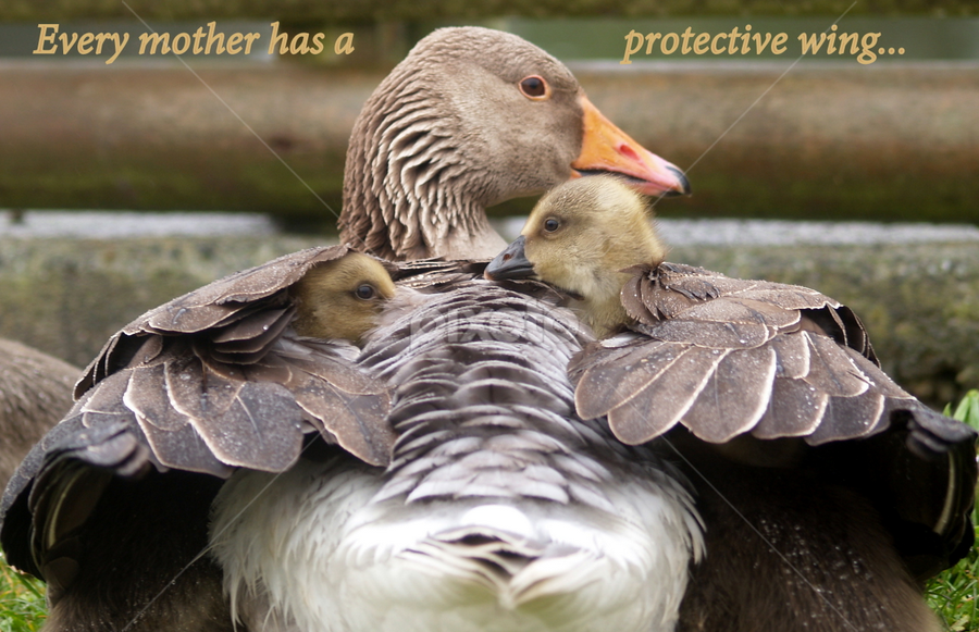 Under My Wing by Yvette O Beirne - Captioned Photos Mother's Day ( love, wing, care, protect, pwcmothers )