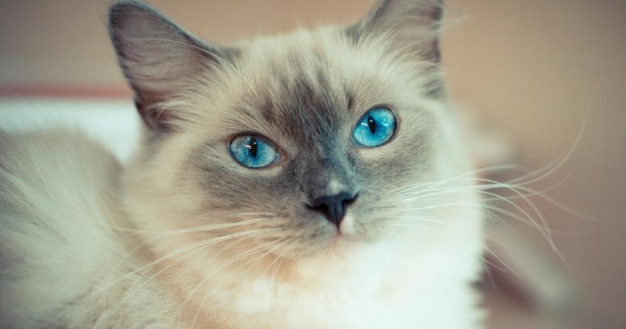gatto-Ragdoll